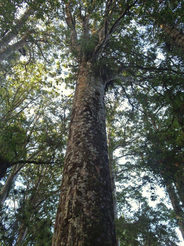 Kaui Tree, New Zealand