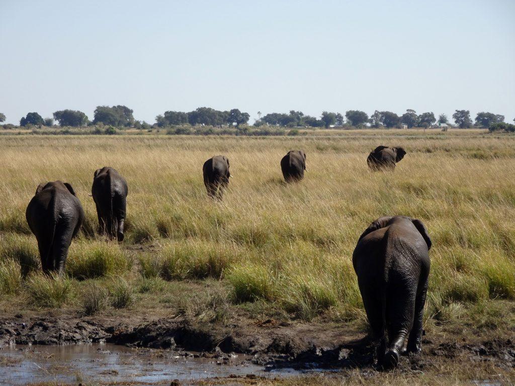 Elephant parade in Chobe National Park Botswana