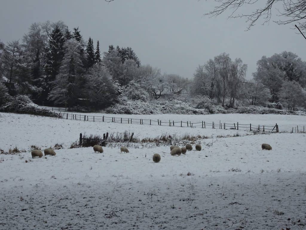 Flock of sheep settle down on snow-covered lawn, Hamburg, Germany