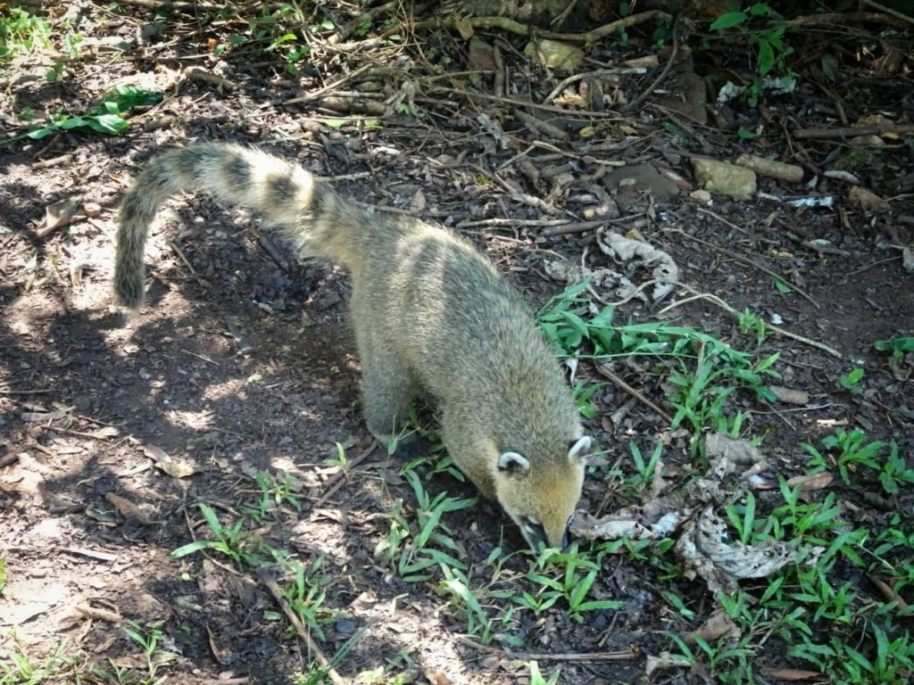 South American Coati looking for food