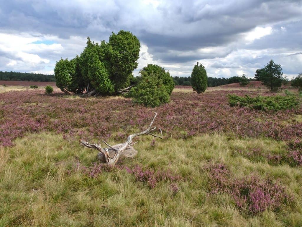 Heathland in purple bloom, Lüneburger Heide, Germany