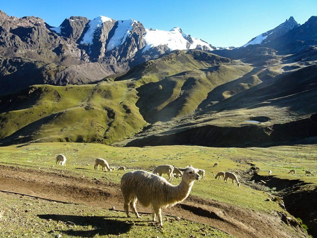 White alpacas before mountain panorama, Peru